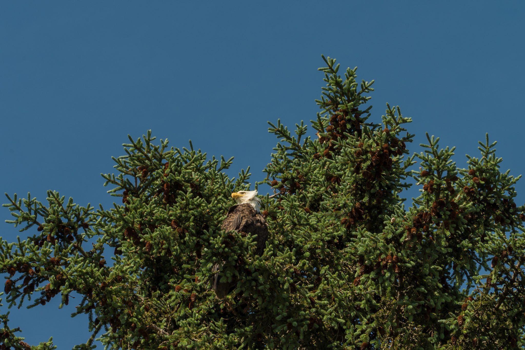 alaska-bald-eagle-snug-harbor-DSC06830