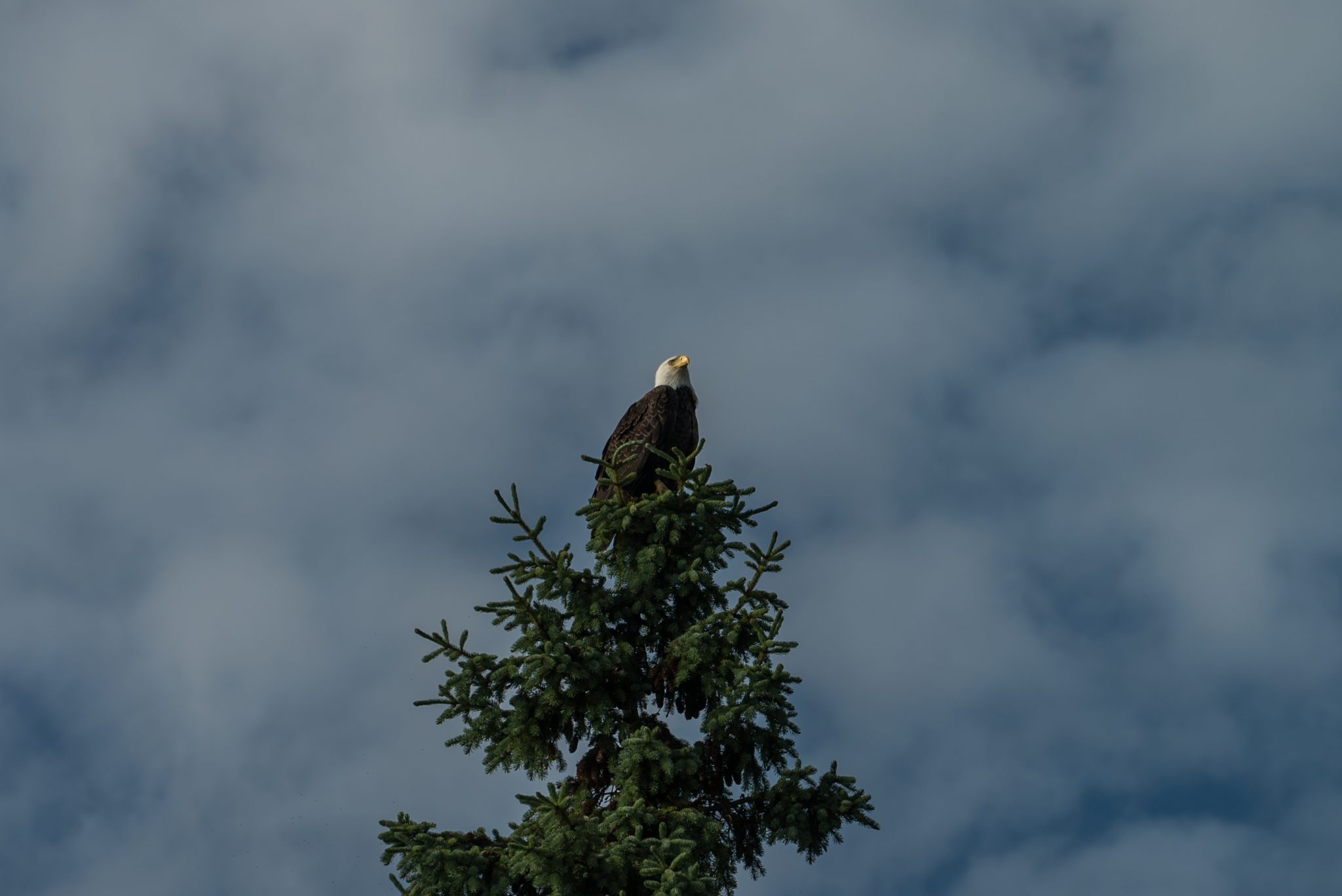alaska-bald-eagle-snug-harbor-DSC06931