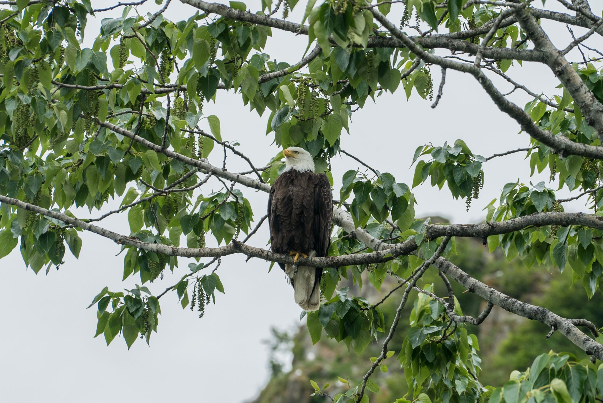alaska-bald-eagle-snug-harbor-wildlife-DSC06655