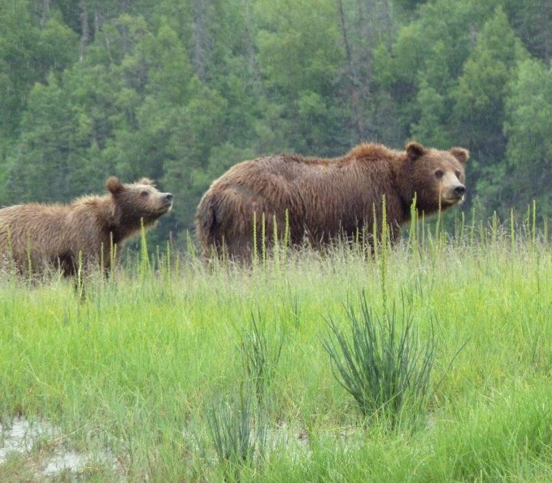 alaskan bear viewing